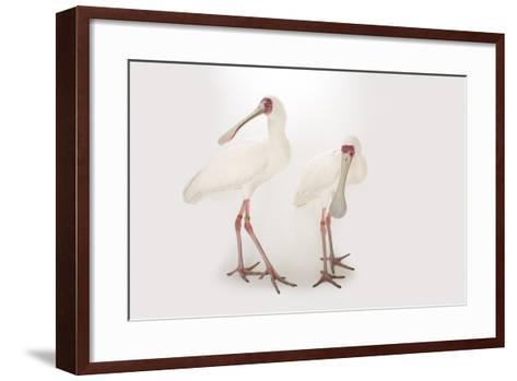 Two African Spoonbills, Platalea Alba, at the Houston Zoo-Joel Sartore-Framed Art Print