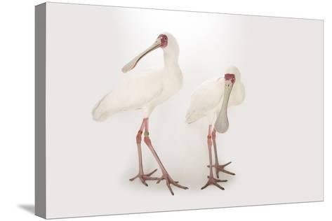 Two African Spoonbills, Platalea Alba, at the Houston Zoo-Joel Sartore-Stretched Canvas Print