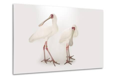 Two African Spoonbills, Platalea Alba, at the Houston Zoo-Joel Sartore-Metal Print