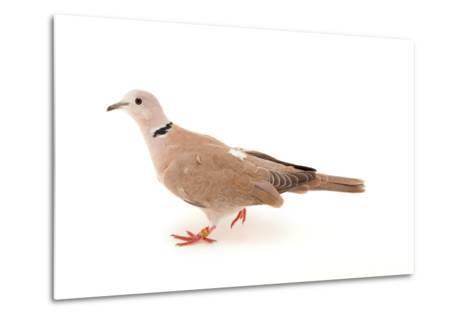 An African Collared Dove, Streptopelia Roseogrisea, at the Sedgwick County Zoo-Joel Sartore-Metal Print