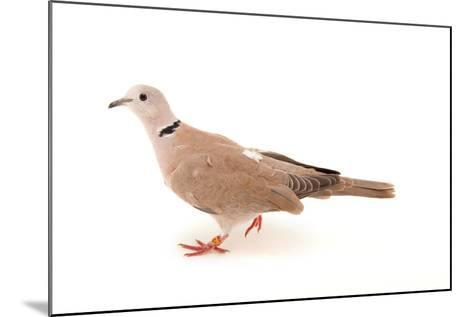 An African Collared Dove, Streptopelia Roseogrisea, at the Sedgwick County Zoo-Joel Sartore-Mounted Photographic Print