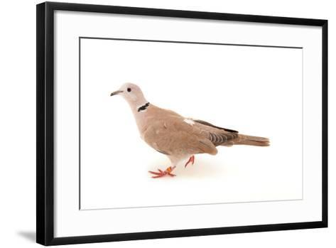 An African Collared Dove, Streptopelia Roseogrisea, at the Sedgwick County Zoo-Joel Sartore-Framed Art Print