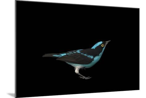 A Male Black-Faced Dacnis, Dacnis Lineata, at the Houston Zoo-Joel Sartore-Mounted Photographic Print