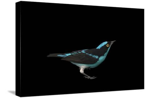 A Male Black-Faced Dacnis, Dacnis Lineata, at the Houston Zoo-Joel Sartore-Stretched Canvas Print
