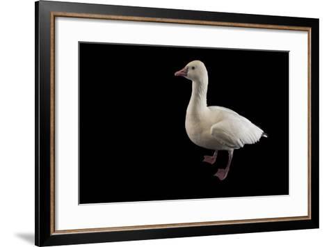 A Ross's Goose, Chen Rossii, at Sylvan Heights Bird Park-Joel Sartore-Framed Art Print
