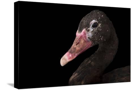 A Spur-Winged Goose, Plectropterus Gambensis, at the Cleveland Metroparks Zoo-Joel Sartore-Stretched Canvas Print