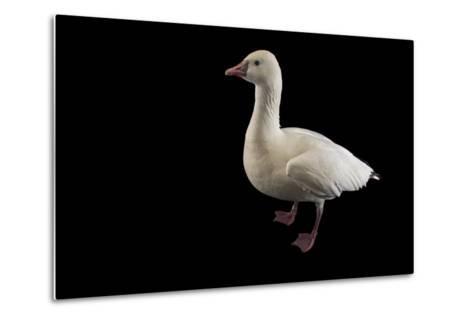 A Ross's Goose, Chen Rossii, at Sylvan Heights Bird Park-Joel Sartore-Metal Print