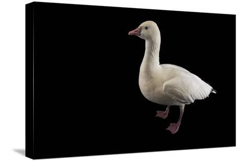 A Ross's Goose, Chen Rossii, at Sylvan Heights Bird Park-Joel Sartore-Stretched Canvas Print