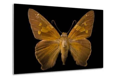 A Zesto's Skipper Mounted on a Pin at the Mcguire Center for Lepidoptera and Biodiversity-Joel Sartore-Metal Print