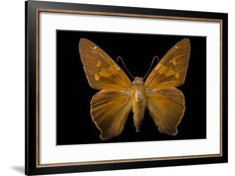 A Zesto's Skipper Mounted on a Pin at the Mcguire Center for Lepidoptera and Biodiversity-Joel Sartore-Framed Art Print