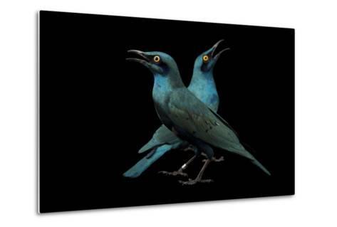 Lesser Blue-Eared Glossy Starlings, Lamprotornis Chloropterus, at the Houston Zoo-Joel Sartore-Metal Print