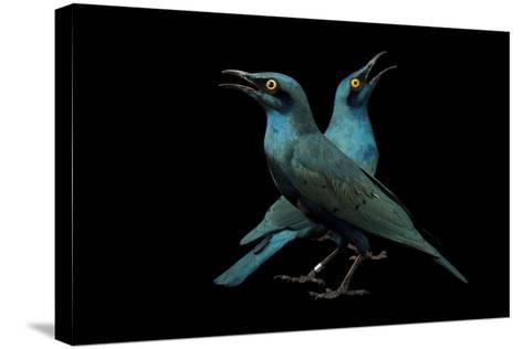 Lesser Blue-Eared Glossy Starlings, Lamprotornis Chloropterus, at the Houston Zoo-Joel Sartore-Stretched Canvas Print