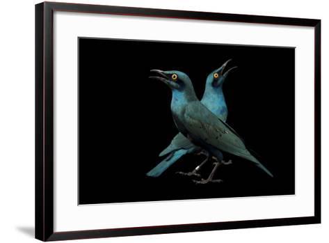 Lesser Blue-Eared Glossy Starlings, Lamprotornis Chloropterus, at the Houston Zoo-Joel Sartore-Framed Art Print