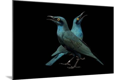 Lesser Blue-Eared Glossy Starlings, Lamprotornis Chloropterus, at the Houston Zoo-Joel Sartore-Mounted Photographic Print