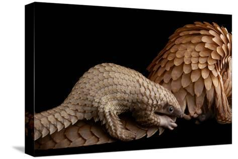 A Vulnerable Adult Female White Bellied Pangolin with Her Baby, at Pangolin Conservation-Joel Sartore-Stretched Canvas Print
