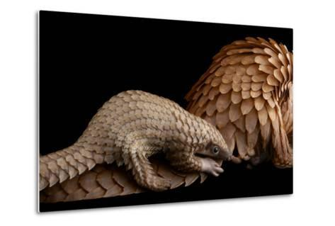 A Vulnerable Adult Female White Bellied Pangolin with Her Baby, at Pangolin Conservation-Joel Sartore-Metal Print