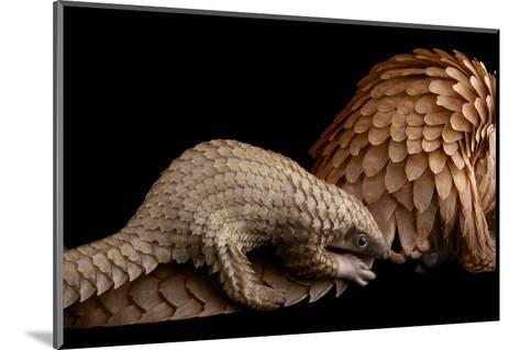 A Vulnerable Adult Female White Bellied Pangolin with Her Baby, at Pangolin Conservation-Joel Sartore-Mounted Photographic Print