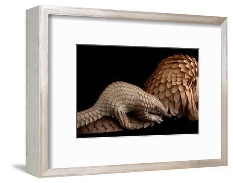 A Vulnerable Adult Female White Bellied Pangolin with Her Baby, at Pangolin Conservation-Joel Sartore-Framed Art Print