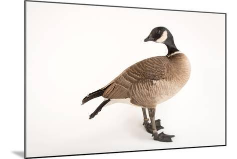 An Aleutian Cackling Goose, Branta Hutchinsii Leucopareia, at Sylvan Heights Bird Park-Joel Sartore-Mounted Photographic Print