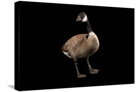 A Male Richardson's Cackling Goose, Branta Hutchinsii, at Sylvan Heights Bird Park-Joel Sartore-Stretched Canvas Print