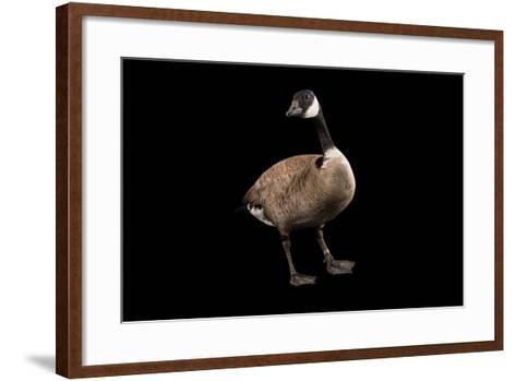 A Male Richardson's Cackling Goose, Branta Hutchinsii, at Sylvan Heights Bird Park-Joel Sartore-Framed Art Print