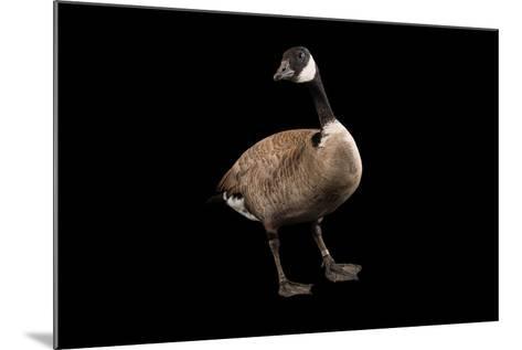 A Male Richardson's Cackling Goose, Branta Hutchinsii, at Sylvan Heights Bird Park-Joel Sartore-Mounted Photographic Print