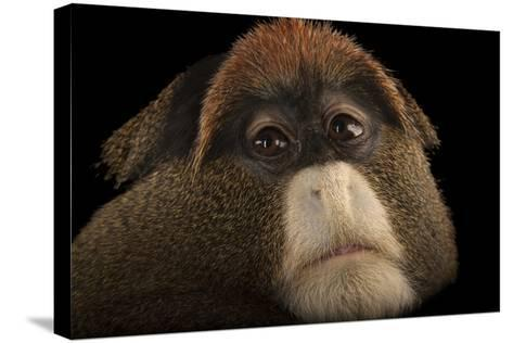 A De Brazza's Monkey, Cercopithecus Neglectus, at Omaha's Henry Doorly Zoo and Aquarium-Joel Sartore-Stretched Canvas Print