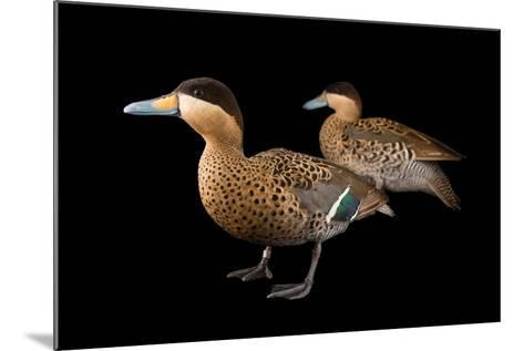 A Male and Female Silver Teal, Anas Versicolor, at Sylvan Heights Bird Park-Joel Sartore-Mounted Photographic Print