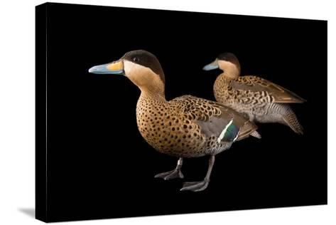A Male and Female Silver Teal, Anas Versicolor, at Sylvan Heights Bird Park-Joel Sartore-Stretched Canvas Print