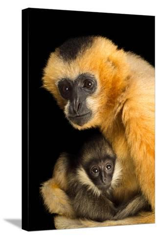 A Critically Endangered Female Northern White Cheecked Gibbon with Her Year Old Baby-Joel Sartore-Stretched Canvas Print