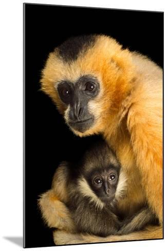 A Critically Endangered Female Northern White Cheecked Gibbon with Her Year Old Baby-Joel Sartore-Mounted Photographic Print