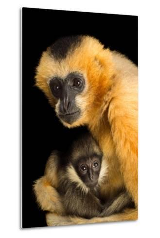 A Critically Endangered Female Northern White Cheecked Gibbon with Her Year Old Baby-Joel Sartore-Metal Print