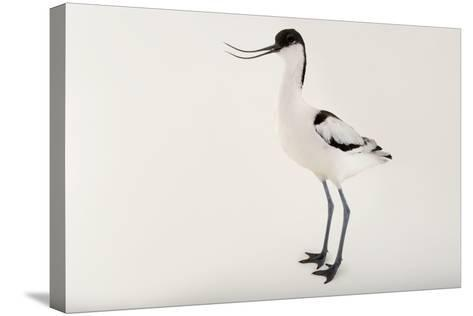 A Pied Avocet, Recurvirostra Avosetta, at Sylvan Heights Bird Park-Joel Sartore-Stretched Canvas Print
