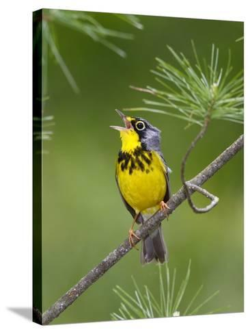 The Canada Warbler, Cardinella Canadensis, Perching on the Branch of a Tree-George Grall-Stretched Canvas Print