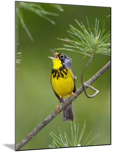 The Canada Warbler, Cardinella Canadensis, Perching on the Branch of a Tree-George Grall-Mounted Photographic Print