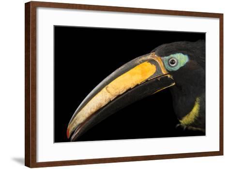 A Many Banded Aracari, Pteroglossus Pluricinctus, at the Dallas World Aquarium-Joel Sartore-Framed Art Print