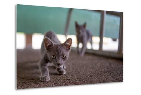 Wild Kittens Approach a Camera with Caution-Ben Horton-Metal Print