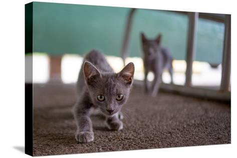 Wild Kittens Approach a Camera with Caution-Ben Horton-Stretched Canvas Print