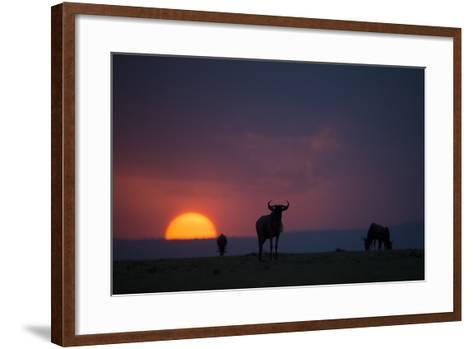 After a Long Day of Migration, Wildebeest Graze before Resting for the Night-Beverly Joubert-Framed Art Print