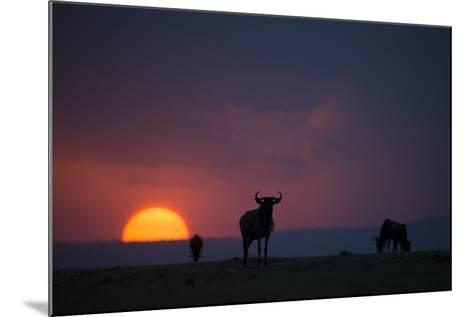 After a Long Day of Migration, Wildebeest Graze before Resting for the Night-Beverly Joubert-Mounted Photographic Print
