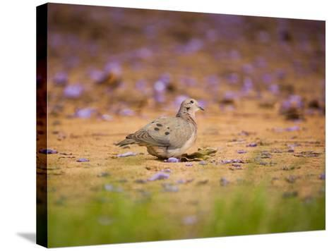 A Ruddy Ground Dove Forages Through Fallen Purple Flowers in Sao Paulo's Ibirapuera Park-Alex Saberi-Stretched Canvas Print