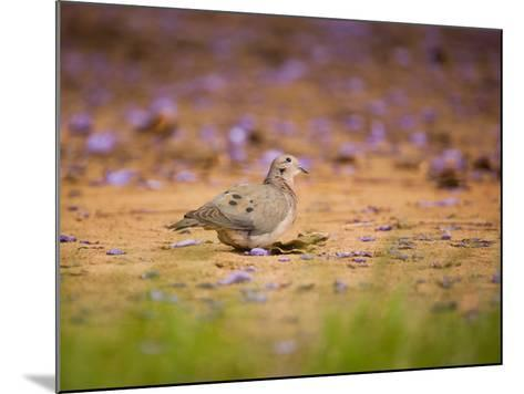 A Ruddy Ground Dove Forages Through Fallen Purple Flowers in Sao Paulo's Ibirapuera Park-Alex Saberi-Mounted Photographic Print