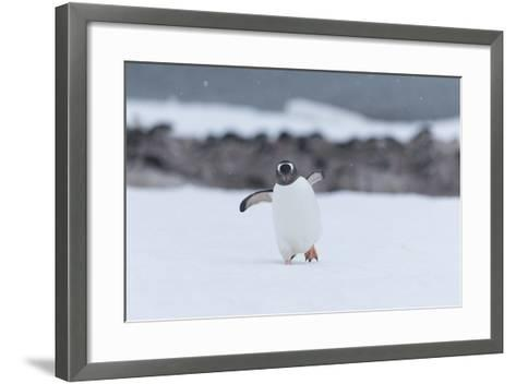 A Gentoo Penguin, Pygoscelis Papua, Walks Through Snow on Neko Harbour in Antarctica-Jeff Mauritzen-Framed Art Print