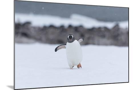 A Gentoo Penguin, Pygoscelis Papua, Walks Through Snow on Neko Harbour in Antarctica-Jeff Mauritzen-Mounted Photographic Print