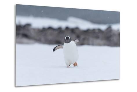 A Gentoo Penguin, Pygoscelis Papua, Walks Through Snow on Neko Harbour in Antarctica-Jeff Mauritzen-Metal Print