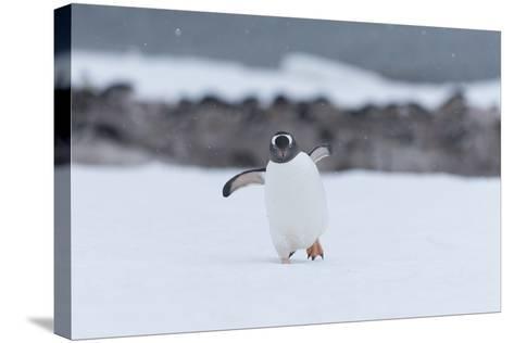 A Gentoo Penguin, Pygoscelis Papua, Walks Through Snow on Neko Harbour in Antarctica-Jeff Mauritzen-Stretched Canvas Print
