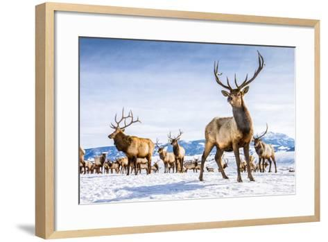 Elk in the 24,700-Acre National Elk Refuge Near Jackson, Wyoming-Charlie James-Framed Art Print