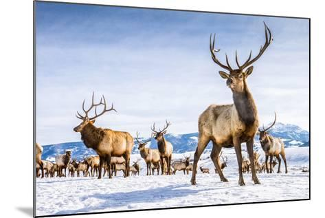Elk in the 24,700-Acre National Elk Refuge Near Jackson, Wyoming-Charlie James-Mounted Photographic Print