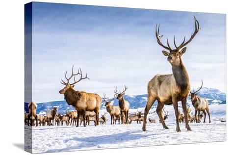 Elk in the 24,700-Acre National Elk Refuge Near Jackson, Wyoming-Charlie James-Stretched Canvas Print