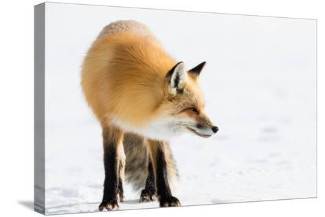 A Red Fox in Grand Teton National Park-Charlie James-Stretched Canvas Print